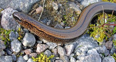 Slow-worm [Anguis fragilis]  Strath Farrar, 03/09/05