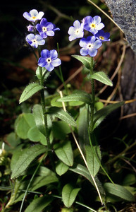 Alpine forget-me-not [Myosotis alpestris]    Ben Lawers, 18/7/93  ~ Not hard to find on the upper slopes of Lawers and some neighbouring hills, particularly on ungrazeable ledges, but otherwise in the British Isles it occurs only in Upper Teesdale. The flowers are bigger than its lowland cousins', and the habitats do not overlap.