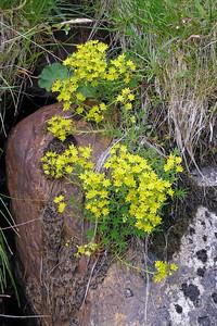 Yellow saxifrage [Saxifraga aizoides]  Beinn Lui, 24/07/05