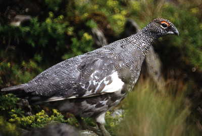 Cock ptarmigan, summer plumage.  Ben Lawers, 18/7/93