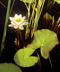 Water-lily [Nymphaea alba]  South Morar, 06/08/95