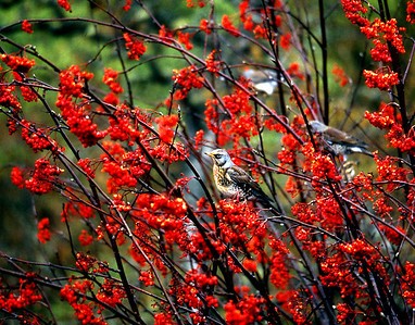 Fieldfare in a rowan tree.  Glen Spean, 26/10/92