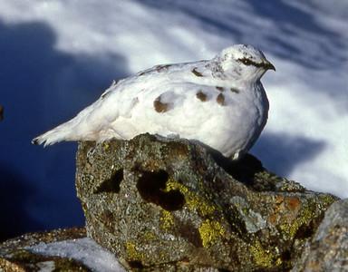 Hen Ptarmigan [Lagopus mutus], winter plumage.  Garbh Chioch Mhor, 02/01/85