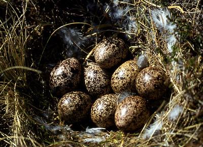 Ptarmigan's nest.  Beinn Dearg (Wester Ross), 18/05/80