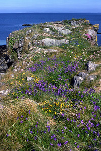A natural rock-garden on a basalt dyke.  11.30am, 25/5/87  ~ Bluebell, Trefoil, Sea-pink, Sea-campion.