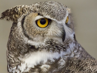 Liberty Wildlife Owls February 13 2016 002