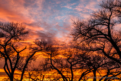 Sunset Cottonwoods