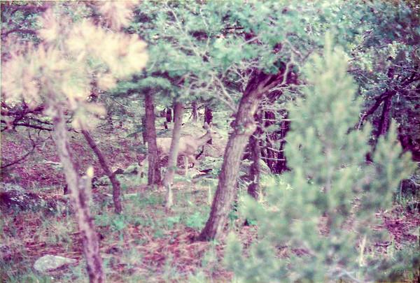 Deer at Euraka Camp