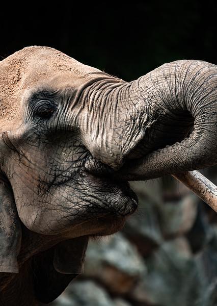Elephant in Schönbrunn