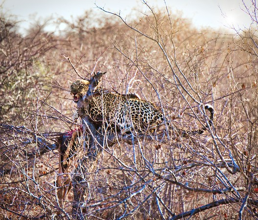 Leopard in the tree with his dinner