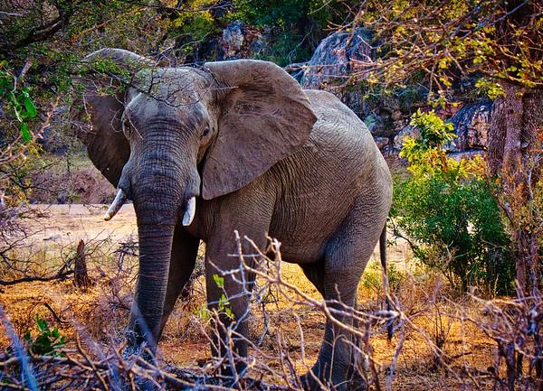Elephant in South Africa's Kruger National Park