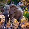Elephant in South Africa's Kruger National Park