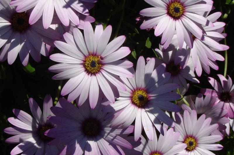 Eyes - Daisies in da Garden - 002