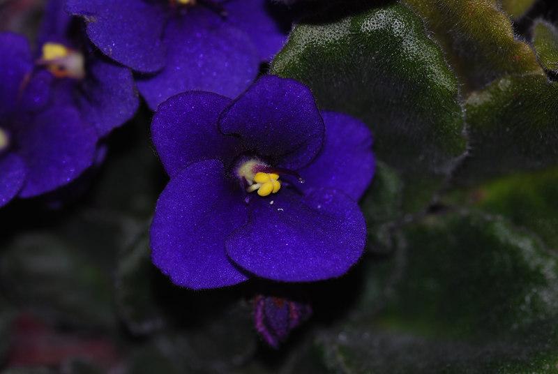 African Violets - 002