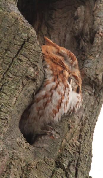 Screech Owl and Hawks yard Birds Feb 2018