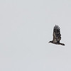 Spotted-Eagle_Hiway14_Jan 2017-8576