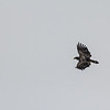 Spotted-Eagle_Hiway14_Jan 2017-8575