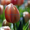 Love never fails. -1 Cor 13 : 8 Tulip