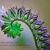 """Caterpillar Phacelia"""