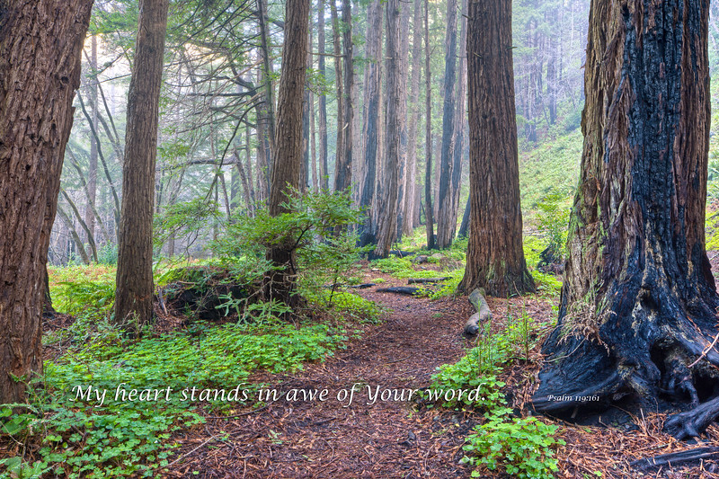 """Redwood Trees and Fog"""