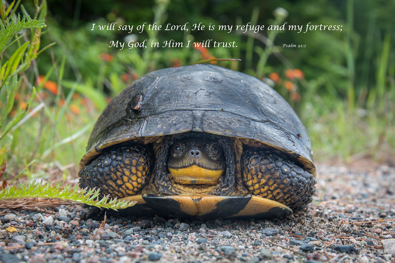 """""""Blanding's Turtle Hiding in its Shell"""""""