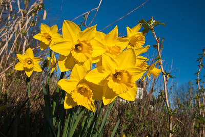 [Week 12: 19th-24th March] Some Dafs in the early morning sun.
