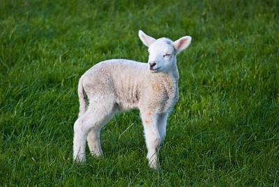 """I shall name thee, """"Smug Lamb"""""""