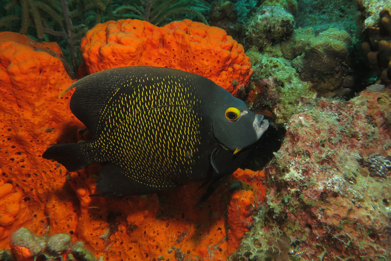 angelfish bonaire 083113