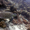 turtle take off bonaire 090513