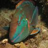 stoplight parrotfish bonaire 090513