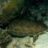 turtle sleeping bonaire 090113