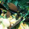 tang feeding bonaire 090513
