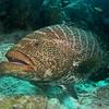 tiger grouper bonaire 090213