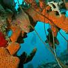 red hind n sponge bonaire 090613