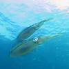 squids in the light bonaire 090513