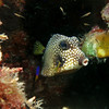 trunkfish kiss bonaire 090213