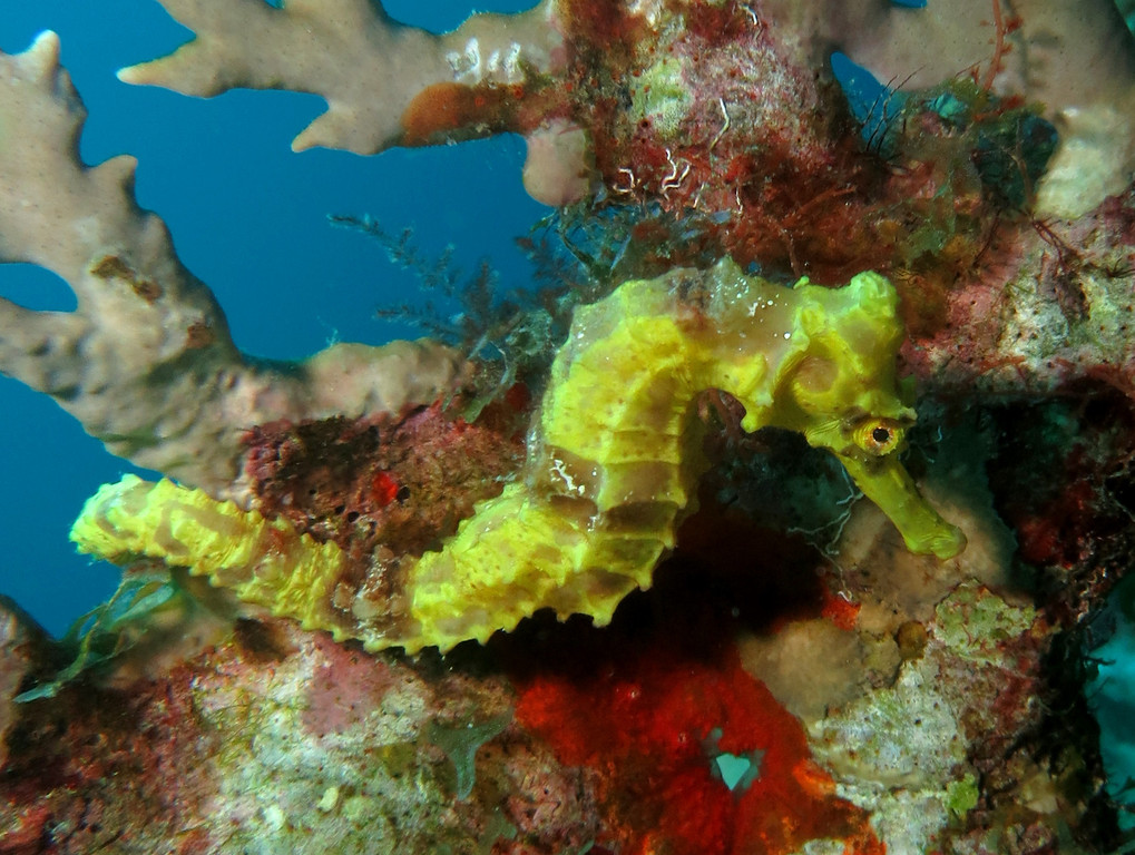seahorse yellow bonaire 090413