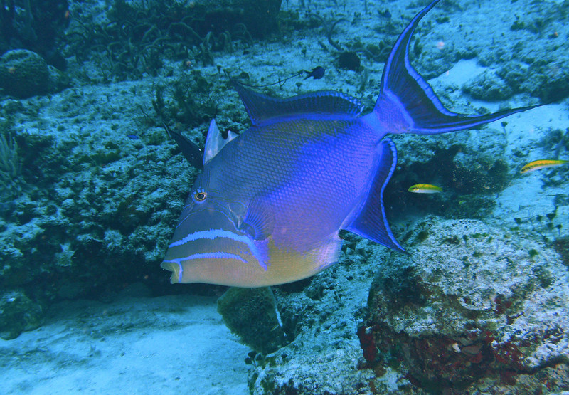 Queen triggerfish.