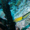 Yellow head wrasse.