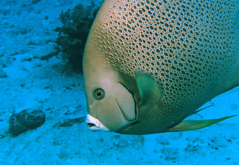 This gray angelfish comes close to check me out.
