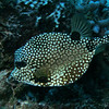 Trunkfish swimming by.