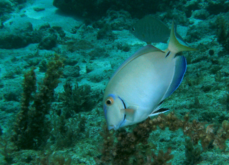 Schools of surgeonfish live in the swim lagoon where there is great snorkeling and even some interesting shore diving.