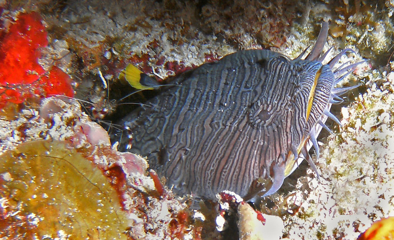 Splendid toadfish with banded shrimp friend.