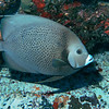 Okay, another beautiful angelfish. But they keep posing for me!