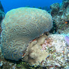 Brain coral.