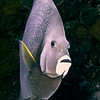 Angelfish are the guardians of the ship and are numerous around the hull.