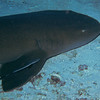 A sleeping nurse shark - the 12 inch remora gives scale to its size.