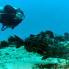 Craig swims beside a goliath grouper.