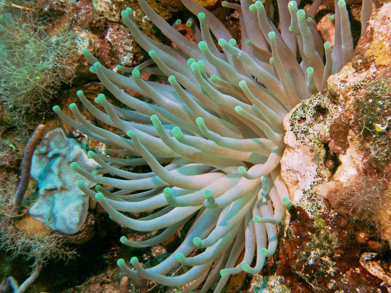Many beautiful anemones.