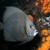 A grey angelfish checks me out.